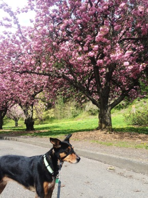 Cherry blossoms at Mt. Tabor