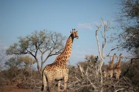 Giraffes in the bush