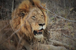 Male lion, happy and fed