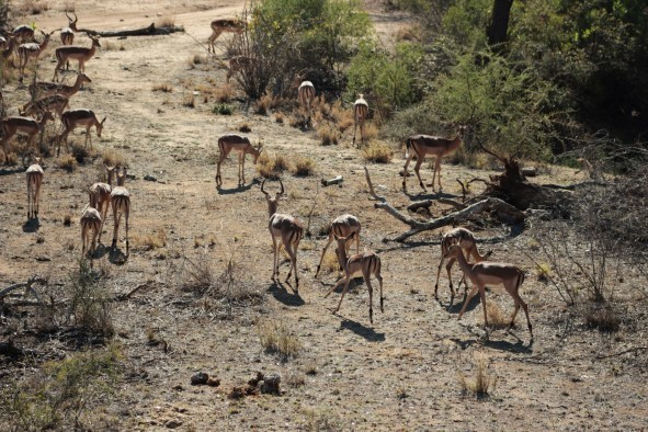Impala- Fast food of the bush