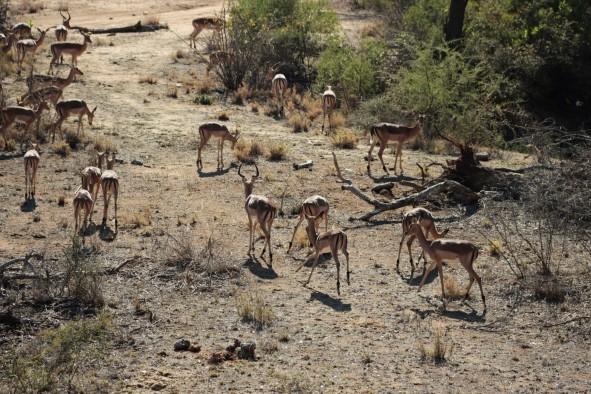 Impala- Fast food of the bush