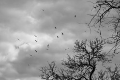 Vultures circling a day-old kill