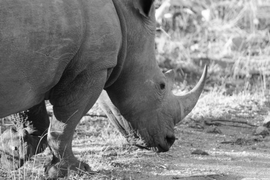 White rhino eating breakfast