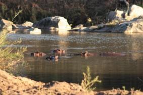 Hippos taking a morning bath