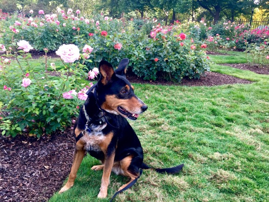 Snickers at the Boise Rose Garden